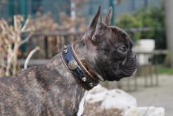 Halsband franz. Bulldogge