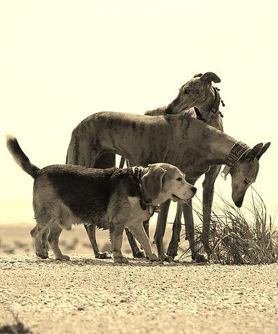 Traumakzente Windhund-Accessoires, Galgo-Halsbänder, Whippet-Halsbänder, Greyhound-Halsbänder