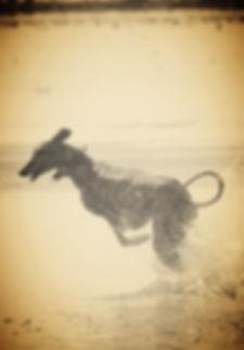 Sloughi Halsbänder, Galgo-Halsbänder, Whippet-Halsbänder, Greyhound-Halsbänder