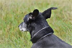 Galgohalsband/Greyhoundhalsband
