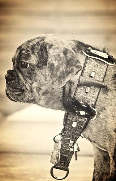 Traumakzente Windhund-Accessoires, Bully-Halsbände, Galgo-Halsbände, Whippet-Halsbänder