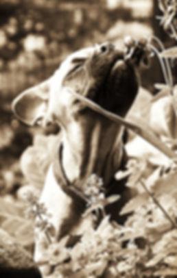 Traumakzente Windhund-Accessoires, Galgo-Halsband, Whippet-Halsband, Greyhound-Halsband