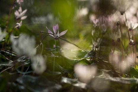 רקפות ביער