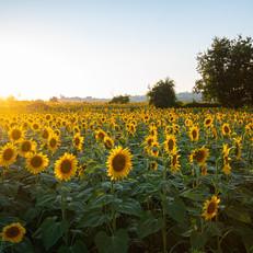 sunflowers-g351221b48_1920.jpg