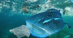 Tiburon Ballena comiendo basura