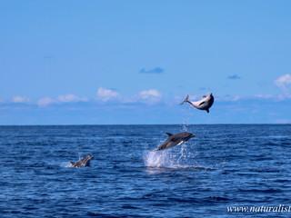 Atlantic Spotted dolphin | Golfinho pintado do Atlântico – Stenella frontalis