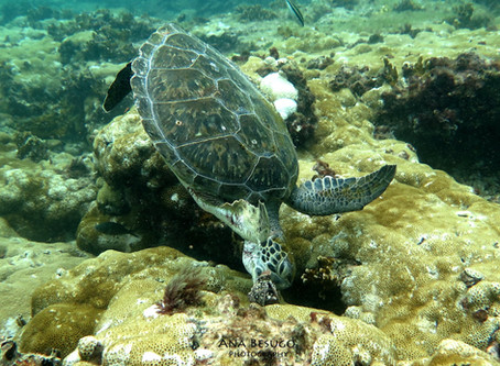 Records from two endangered sea turtle species nesting in Príncipe Island