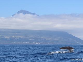 |18062021| Sperm whale and Pico island postcard | Postal de Cachalote e Ilha do Pico