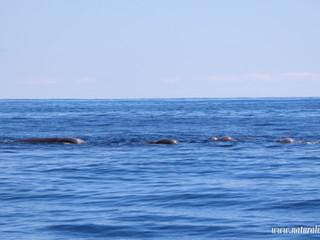 Northern bottlenose whale | Botinhoso - Hyperoodon ampullatus