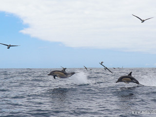 |29052021| Massive pod of common dolphins