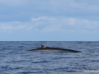 |22092020| Our first fin whale of the season