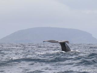 |13052021| Sperm whale postcard