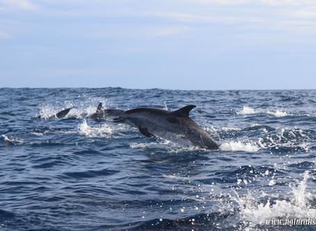 Behavioral response to swim-with-dolphin in Azores    Natação c/ Golfinhos: Resposta Comportamental