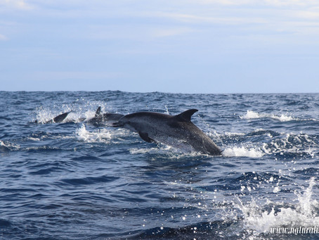 Behavioral response to swim-with-dolphin in Azores || Natação c/ Golfinhos: Resposta Comportamental