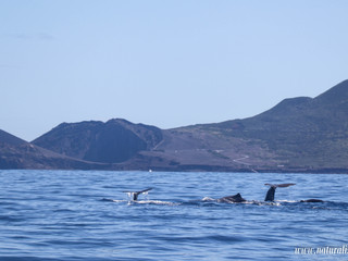 |05062021am| Whales and dolphins with a Vulcano in the background