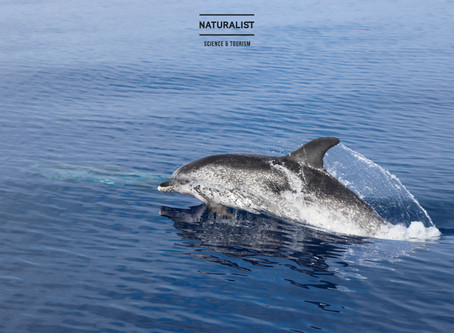 |04072020am| Friendly spotted dolphins and a glassy sea