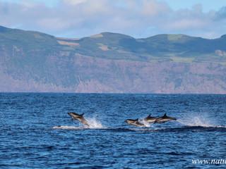 Striped dolphin | Golfinho riscado - Stenella coeruleoalba