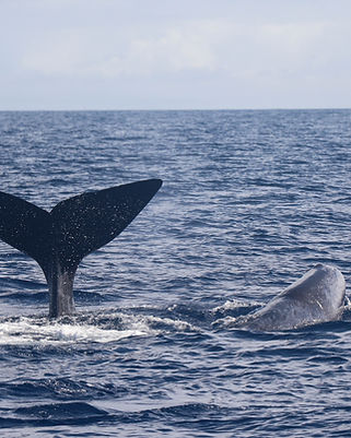 whale watching azores 20200827-4.JPG