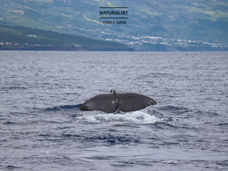 |09072020| Sperm whales, spotted dolphins and a loggerhead turtle in Faial, Pico - Azores