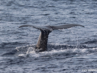 |20210820| Sperm whales from the north | Cachalotes do norte
