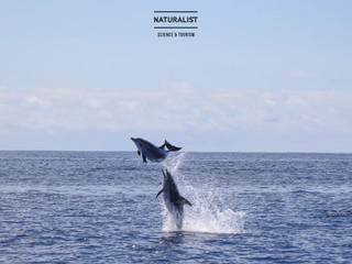 "|11072020| The Sultan whale and ""show off"" dolphins Faial Azores"