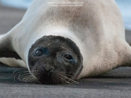 Sighting of a Harp Seal (Pagophilus groenlandicus) on Faial Island