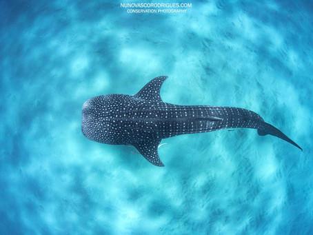 Whale shark | Tubarão Baleia