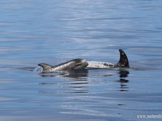 |12062021pm| Tiny risso's dolphin calf nursing | Cria de golfinho de risso em alimentação