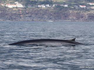 Fin whale | Baleia comum - Balaenoptera physalus