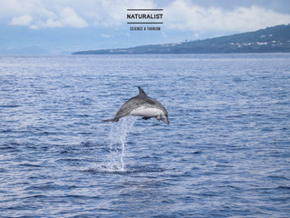 |05072020| Jumping spotted dolphins