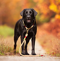Jules Leinenwelt, Glücksmomente Fotografie, Labrador, Hundeleine, Hundehalsband, Herbstoutfit,
