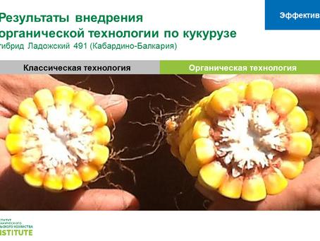 Средняя урожайность кукурузы по стране выросла в 4 раза, отстав по урожайности от органической кукур