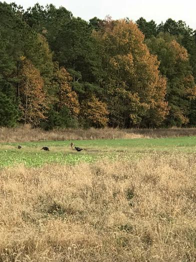 35.turkey.in.field1.jpeg