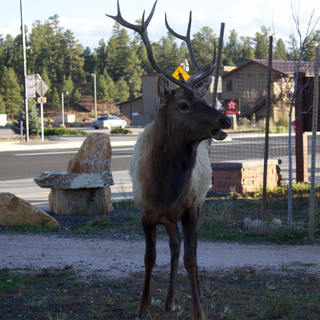 Elk in the Grand Canyon.  Just came into town for a bite to eat.
