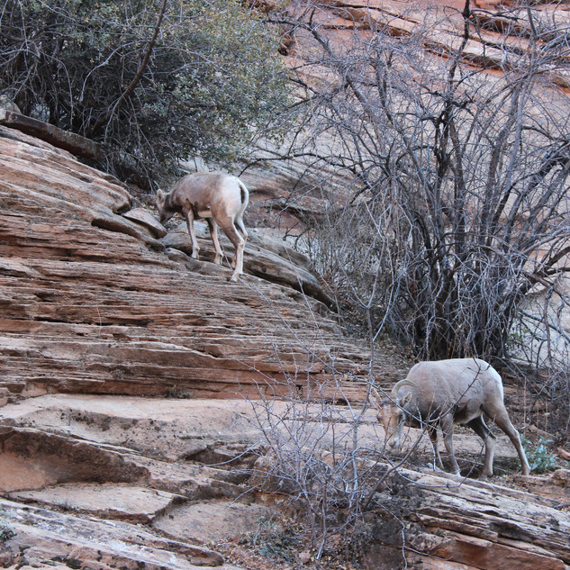Big Horn Sheep in Zion.