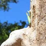 Preying Mantis clinging to a tree.