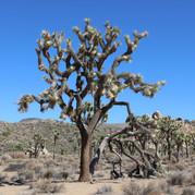Josha Tree