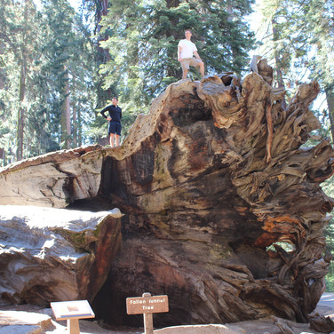 Two dudes on the base of a fallen Sequoia tree