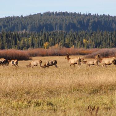 Small of heard of Elk