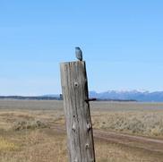 Mr. Bluebird sitting on the fence post.