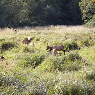 Elk in the prairie in the Redwoods
