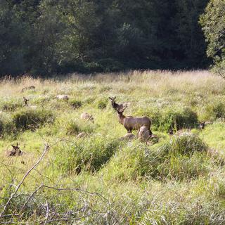 Elk heard in the Redwoods