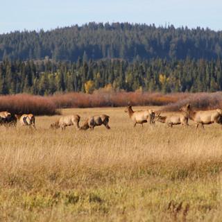 Heard of cow elk in the Tetons.