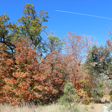 Autumn colors of the Guadalupe (photographed  in early November), in McKittrick Canyon.