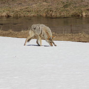 Coyote looking for food.