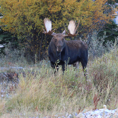 Bull Moose also known as Bullwinkle.