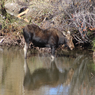 Cow moose in the river just hanging out.