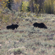 Bull and Cow Moose hanging out in a field.