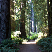 The following are photos of  Redwood Trees in Redwood National Park