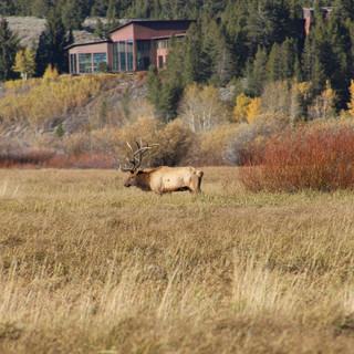 Bull Elk and his heard in the Tetons